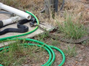 Texas Indigo snake eating a Rattler (courtesy of the Texas Hill Country Facebook page)